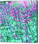 Lavender Color Flowers Acrylic Print