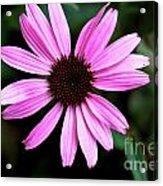 Lavender Daisy Acrylic Print