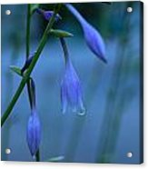 Lavender Evening Acrylic Print