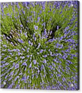 Lavender Explosion Acrylic Print by Tim Gainey