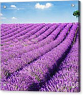 Lavender Field And Tree In Summer Provence France. Acrylic Print by Matteo Colombo