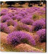 Lavender Fields 2 Acrylic Print