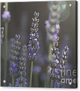 Lavender Flare. Acrylic Print