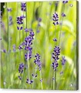 Lavender Flowers Background Acrylic Print