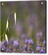 Lavender, France Acrylic Print
