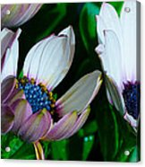 Lavender Frost African Daisy Acrylic Print
