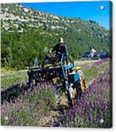 Lavender Harvest In Provence Acrylic Print