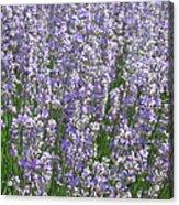 Lavender Hues Acrylic Print