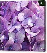 Lavender Hydrangea Acrylic Print