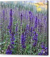 Lavender In The City Park Acrylic Print