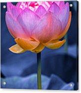 Lavender Lotus Acrylic Print