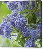 Lavender Pompoms Acrylic Print