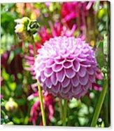 Lavender Purple Dahlia Flowers Art Prints Acrylic Print