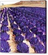 Lavender Study - Marignac-en-diois Acrylic Print