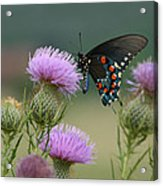 Lavender Thistle And Pipevine Swallowtail Butterfly Acrylic Print