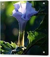 Lavender Trumpet Flower Acrylic Print