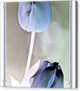 Lavender Tulips Acrylic Print