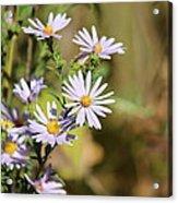 Lavender Wild Flowers Acrylic Print by Edward Hamilton