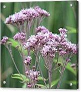 Lavender Wildflower Acrylic Print