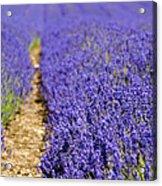 Lavender's Blue Acrylic Print