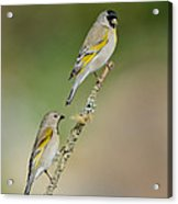 Lawrence Goldfinch Pair On Branch Acrylic Print