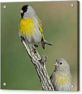 Lawrences Goldfinch Pair On Perch Acrylic Print
