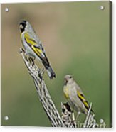 Lawrences Goldfinch Pair Perched Acrylic Print