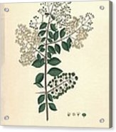 Lawsonia Inermis, Historical Artwork Acrylic Print
