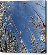 Laying In A Feild Looking Up Acrylic Print