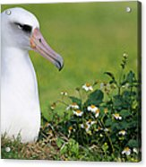 Laysan Albatross Nesting Hawaii Acrylic Print