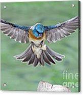 Lazuli Bunting In Flight Acrylic Print