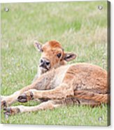 Lazy Bison Calf Or Red Dog Acrylic Print
