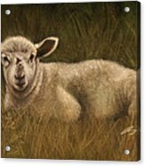 Lazy Lamb Acrylic Print by Rachael Curry