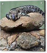 Lazy Lizard 2 Acrylic Print