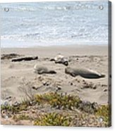 Lazy Seals Acrylic Print