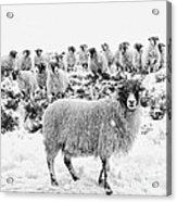 Leader Of The Flock Acrylic Print