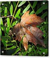 Leaf Among Ferns Acrylic Print