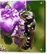 Leaf Cutter Bee Acrylic Print by Walter Klockers