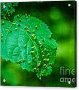 Leaf Gall Acrylic Print