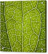 Leaf Lines V Acrylic Print