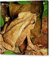 Leaf Litter Toad Bufo Typhonius Acrylic Print