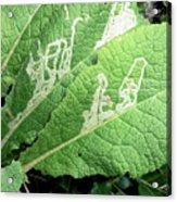 Leaf Miner On Primrose Acrylic Print