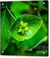 Leaf With Seeds Acrylic Print