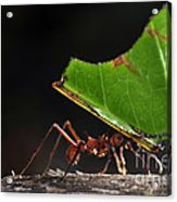 Leafcutter Ant Acrylic Print