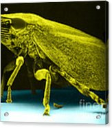 Leafhopper, Sem Acrylic Print