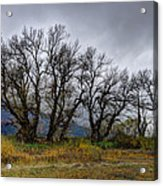 Leafless Trees Acrylic Print