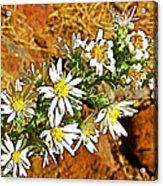 Leafy-bract Asters In Wildcat Canyon Trail Along Kolob Terrace Road In Zion National Park-utah Acrylic Print