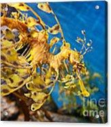 Leafy Sea Dragon Phycodurus Eques. Acrylic Print