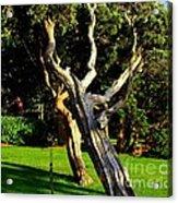 Leaning Cedars Of West Chop Acrylic Print