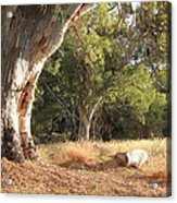 Leaning Old Gum Acrylic Print